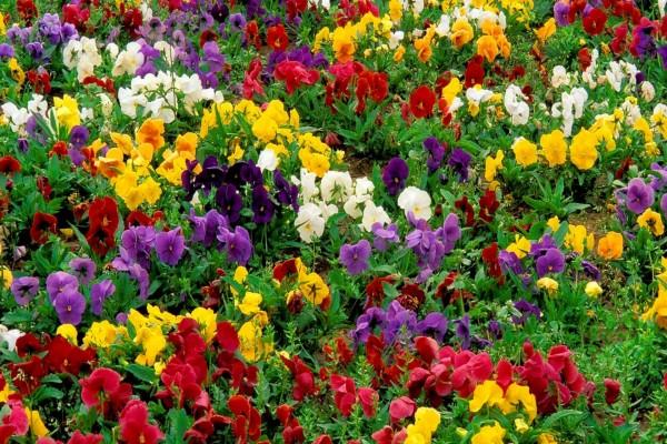 Pensamientos dando color al jardín