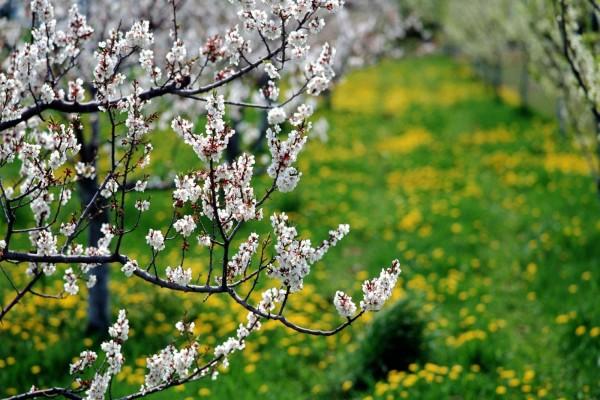 Las ramas de un árbol en flor