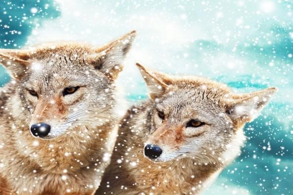 Copos de nieve cayendo sobre dos coyotes