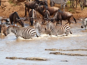 Cebras, ñus y cocodrilos en el agua