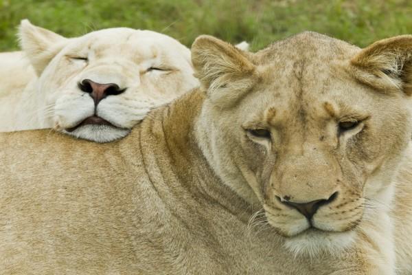 Dos leonas