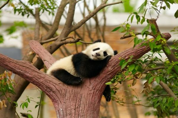 Un pequeño oso panda dormido