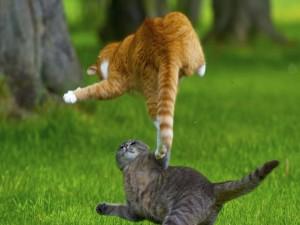Postal: Dos gatos peleando
