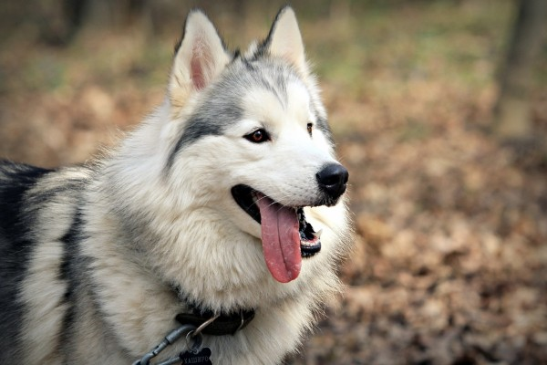 Un husky con la lengua fuera