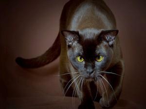 Un gato negro caminando