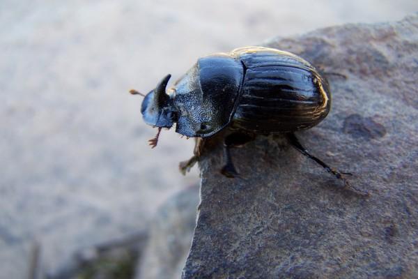 Escarabajo en la roca