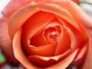 Postal: Una rosa naranja