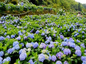 Postal: Campo con hortensias