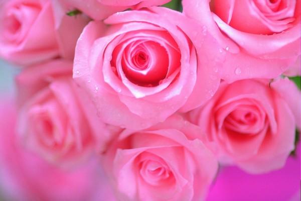 Rosas de un bonito color rosa