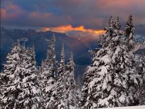 Pinos con nieve al amanecer