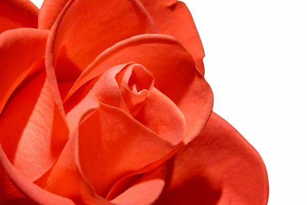 Una bonita rosa de color naranja