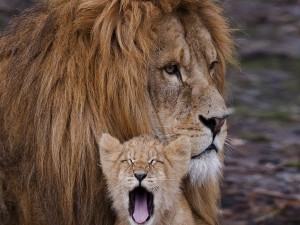 Cachorro de león bostezando junto a un gran león