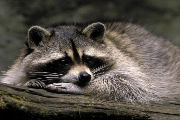 Un  bonito mapache