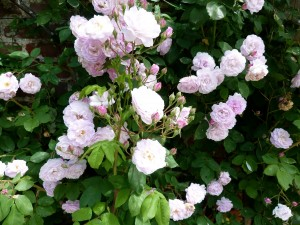 Un rosal con lindas rosas