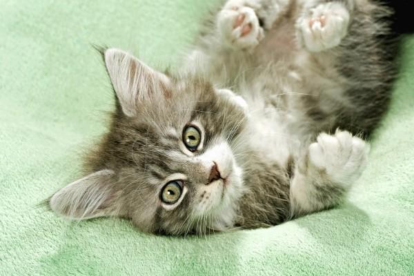 Un bonito gato sobre la toalla verde