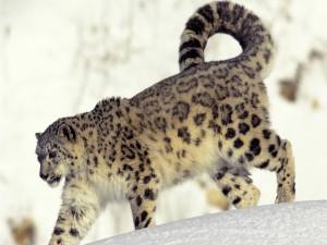 Un leopardo de las nieves caminando