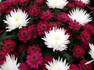 Postal: Crisantemos rojos y blancos