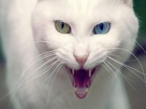 Gato blanco bastante enfadado