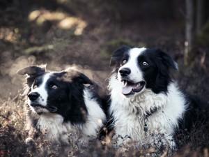 Dos perros blancos y negros