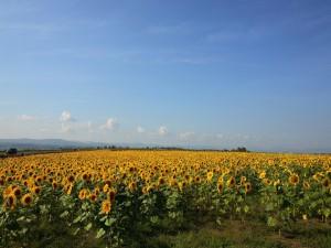 Postal: Un campo de girasoles junto a una carretera