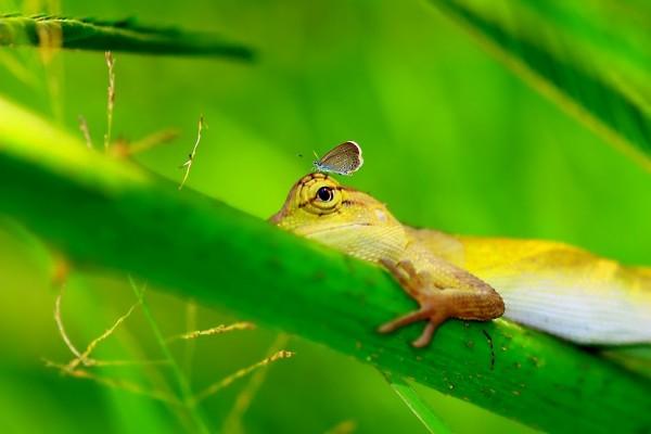 Una mariposa posada en la cabeza de un lagarto