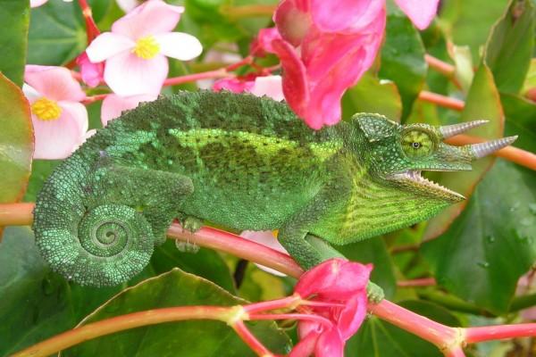 Camaleón de Jackson entre las flores