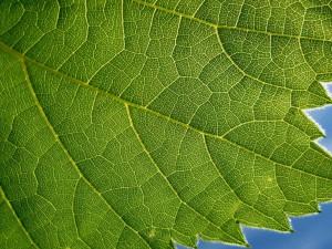 Postal: Nervaduras de una hoja verde