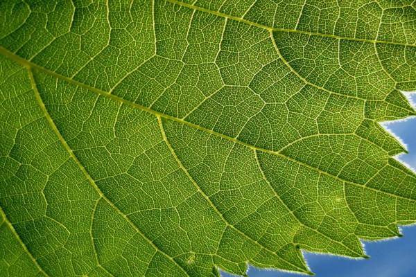 Nervaduras de una hoja verde