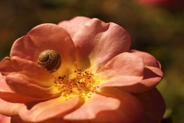 Caracol sobre el pétalo de la flor