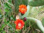 Flores en la chumbera