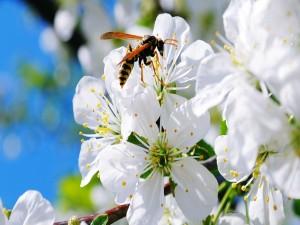Avispa sobre unas flores blancas