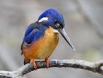 Martín pescador azul