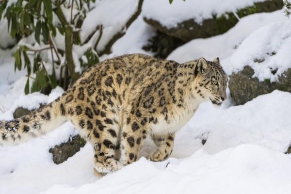 Leopardo de las nieves caminando