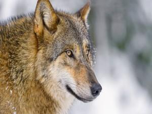 Postal: La cara de un lobo