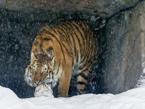 Tigre siberiano jugando con una pelota en la nieve