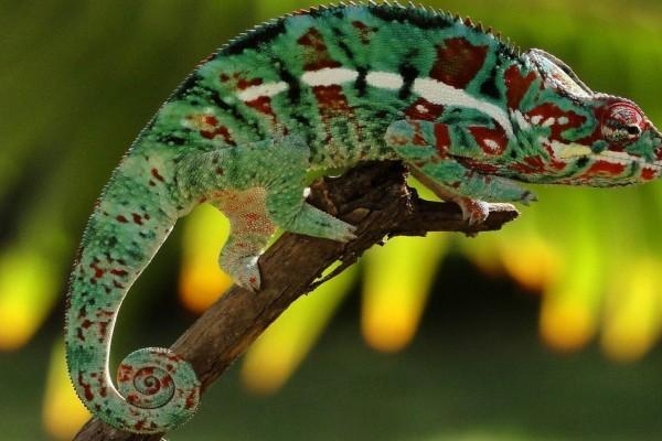 Camaleón con bonitos colores en su piel