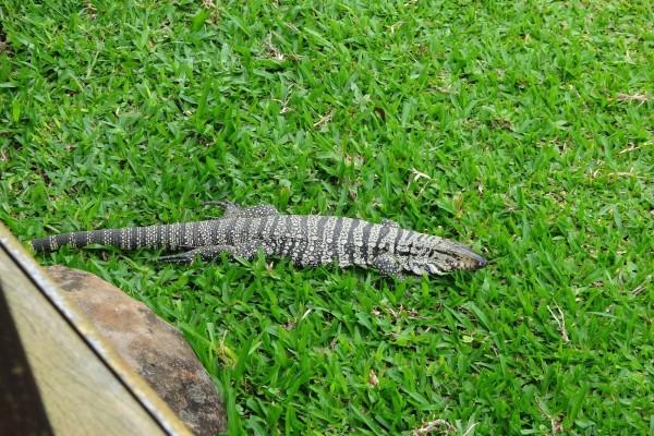 Gran lagarto en la hierba