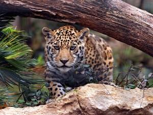 Jaguar joven entre las piedras