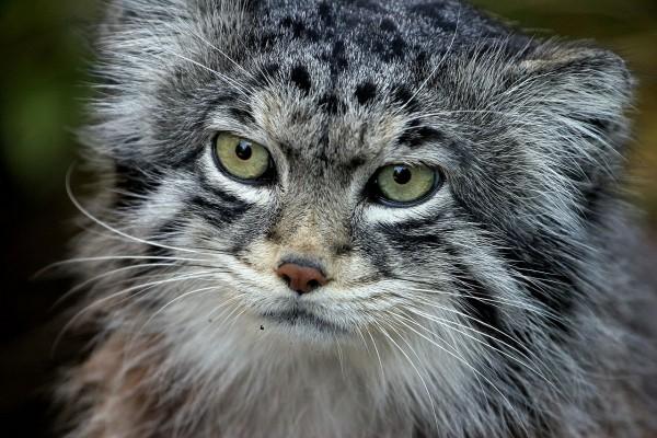 La cara de un gato de Pallas