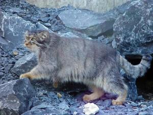 Gato de Pallas entre las rocas