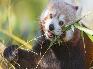 Postal: Panda rojo comiendo ramas de bambú