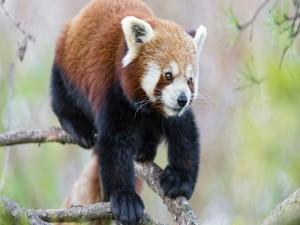 Panda rojo sobre las ramas de un pino