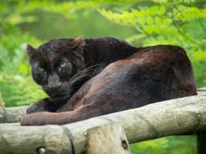 Pantera negra tumbada en una plataforma de madera