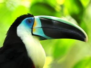 Un tucán con el ojo azul