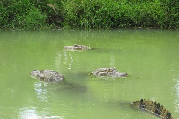 Tres caimanes en el agua