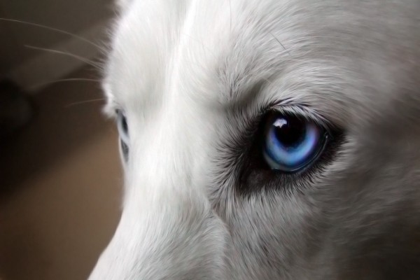 El ojo azul de un perro blanco