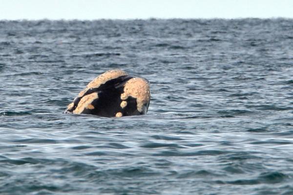 Ballena saliendo a la superficie