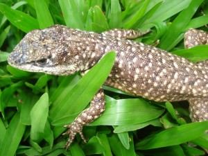 Un lagarto caminando sobre las plantas