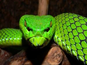 Cabeza de una serpiente verde