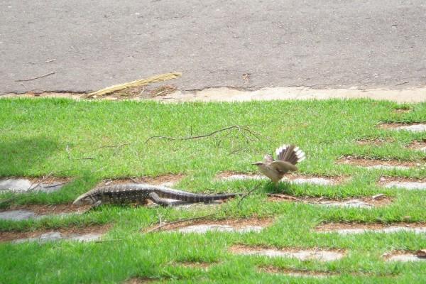 Un pájaro persiguiendo a un lagarto